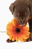 Doberman Pincher Puppy Biting Gerbera Daisy