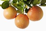 Pink Grapefruit Hanging from Tree