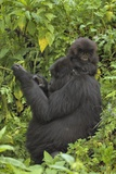 Mountain Gorilla (Gorilla Beringei Beringei) Mother and Cub