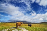 Highland Cattle on Meadow
