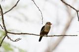 Grey-Headed Kingfisher (Halcyon Leucocephala)  Tsavo East National Park  Kenya