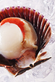 Fresh Scallop in Shell on Ice