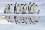 Emperor Penguins (Aptenodytes Forsteri)