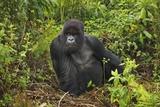 Mountain Gorilla (Gorilla Beringei Beringei) Silverback