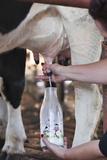 Farmer Hand Milking Cow into Milk Bottle