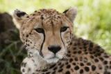 Cheetah (Acynonix Jubatus)  Masai Mara  Kenya