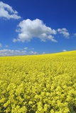 Canola Field in Springtime