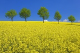 Line of Trees amidst Canola Fields