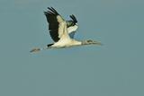 Wood Stork Flying against Blue Sky