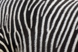 Pattern on Side of Grevy's Zebra (Equus Grevyi)