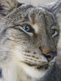 Siberian Lynx (Lynx Lynx Wrangeli)