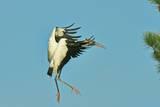 Wood Stork before Landing on Tree Branch