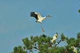 Wood Stork Landing on Tree Branch