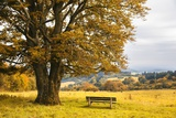 Beech Tree in Atumn