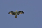 Osprey against Blue Sky