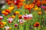 Poppies in Full Bloom