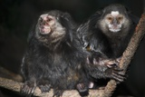 Wied's Marmosets (Callithrix Kulii)