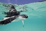 Juvenile Green Sea Turtle (Chelonia Mydas) Papier Photo par Stephen Frink