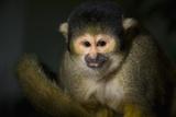 Black-Handed Spider Monkey (Ateles Geoffroyi)