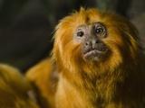 Golden Lion Tamarin (Leontopithecus Rosalia)