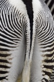 Tail & Hindquarters of of Grevy's Zebra (Equus Grevyi)