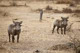 Young Warthogs