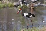 Saddle-Billed Stork (Ephippiarhynchus Senegalensis)