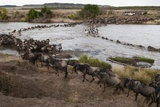 Wildebeest Crossing the River Mara