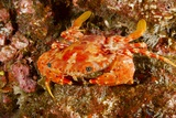 Batwing Swimming Crab