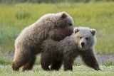 Playful Grizzly Bear Cubs