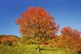 Cherry Tree (Prunus) in Autumn Colors  Val Gardena  Dolomites  South Tyrol  Italy
