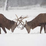 Mirror Image: Stags Locking Horns