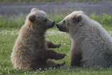 Nuzzling Grizzly Bear Cubs