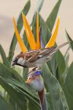 House Sparrow on Bird of Paradise
