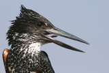 Giant Kingfisher (Megaceryle Maximus)