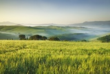 Barley Field and Fog