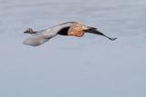 Reddish Egret in Flight