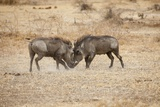 Young Warthogs Sparring