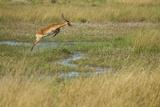 Southern Lechwe Jumping