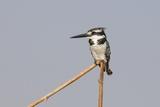 Female Pied Kingfisher (Ceryle Rudis)