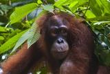 Orangutan (Pongo Pygmaeus) at the Sepilok Orangutan Rehabilitation Center