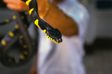 Poisonous Banded Krait Snake at Red Cross Show