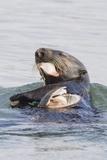 Southern Sea Otter Eats a Clam Papier Photo par Hal Beral