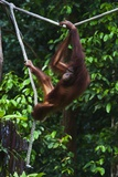 An Orangutan (Pongo Pygmaeus) at the Sepilok Orangutan Rehabilitation Center