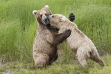 Pair of Brwon (Grizzly) Bears Play Fighting