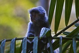 A Silvery Lutung or Silvered Leaf Monkey (Trachypithecus Cristatus)