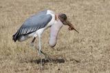 Marabou Stork Will Full Gllett