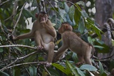 Stump-Tailed Macaques (Macaca Arctoices)