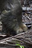 A Bornean Bearded Pig (Sus Barbatus)