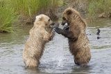 Brown (Grizzly) Bears Fighting over a Fish